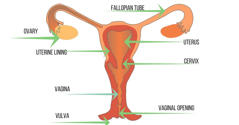 Image of the Female Reproductive System, Dad Guide: Menstruation