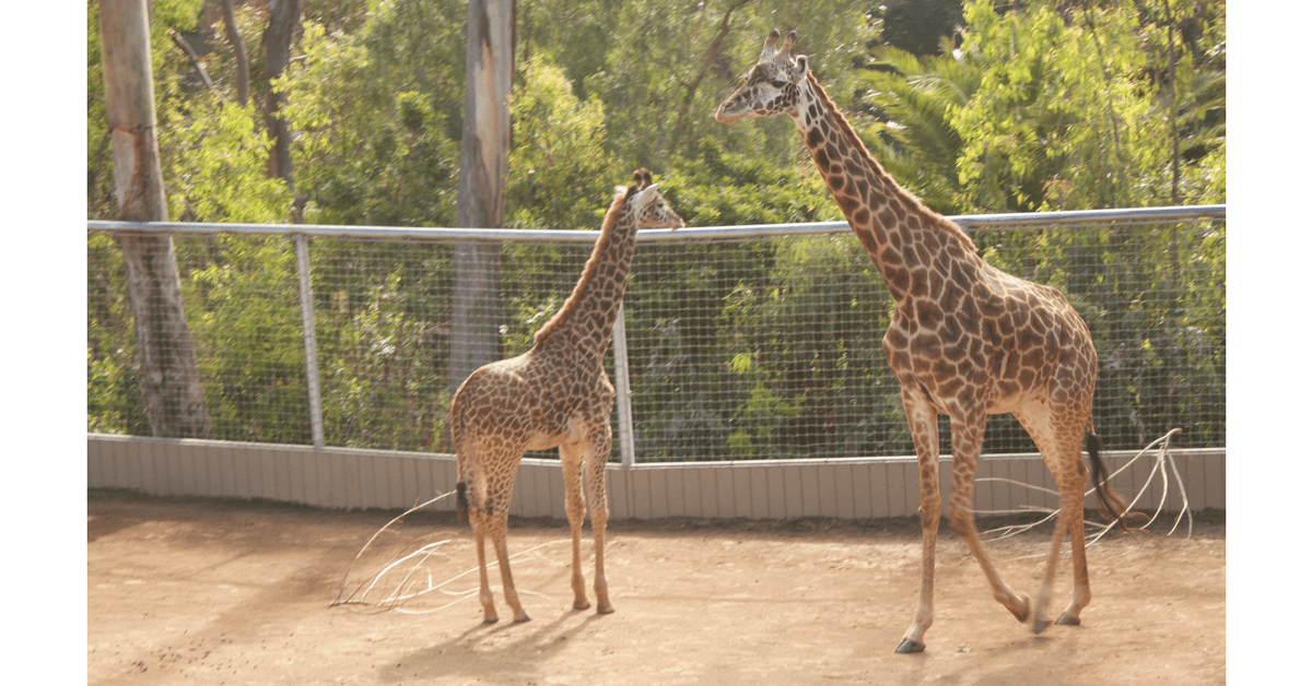Image of two giraffes at the San Diego Zoo