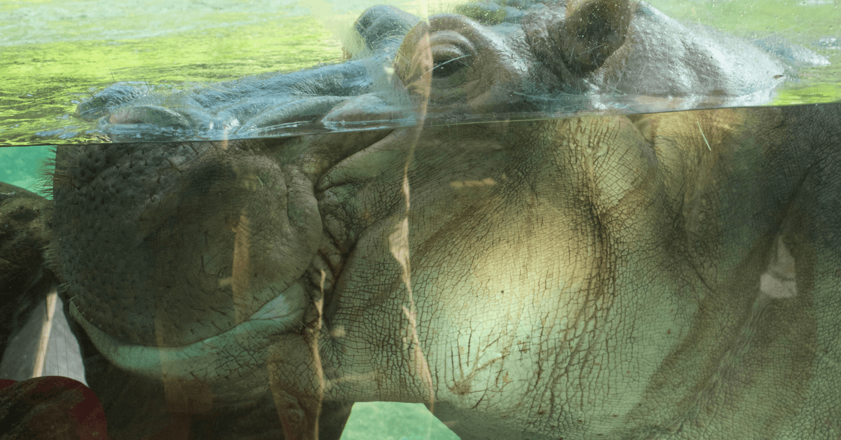 Image of a large hippo's head