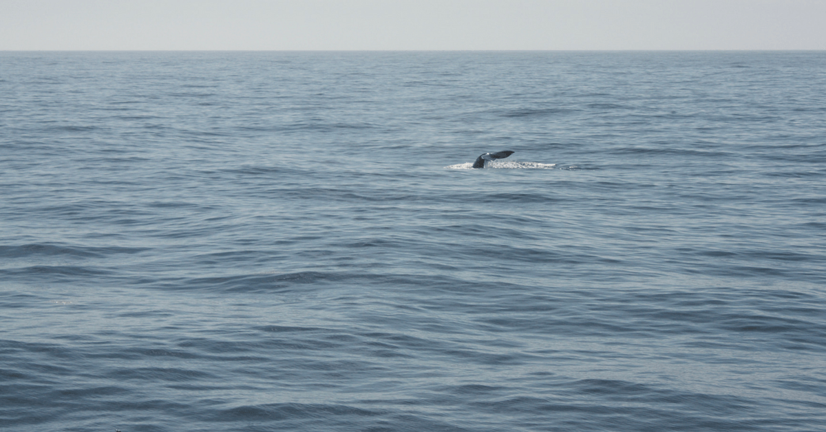 Image of the tail of a grey whale